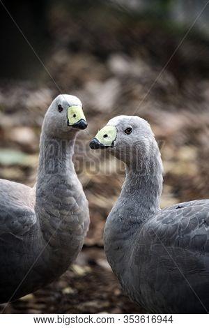 Pair Of Cape Barren Geese In Queensland Australia