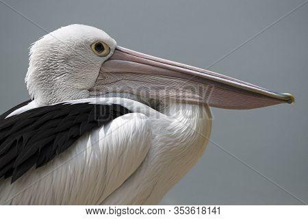 Pelican Against Clear Background In Queensland Australia