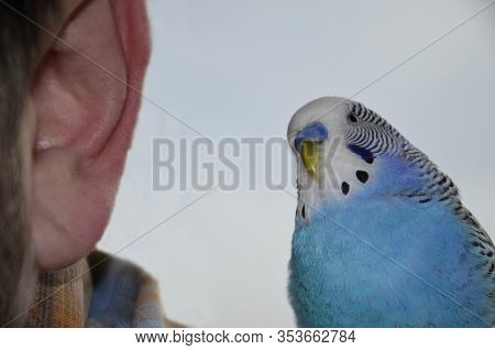 A Budgie Sits On A Man's Shoulder.