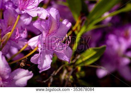 Beautiful Rhododendron Flower Head