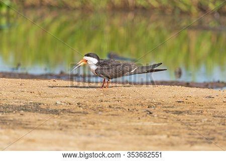 Black Skimmer On A Sandbar In The Pantanal In Pantanal National Park In Brazil