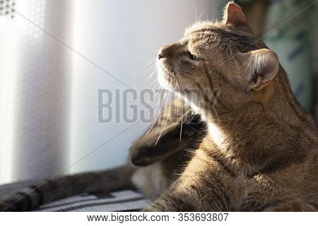 The Gray Cat Was Photographed While Itchy. Sunlight Shines On The Cats Face.