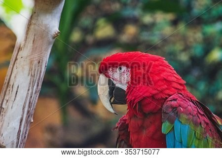 A Closeup Of Green-winged Macaw In A Conservatory.   Vancouver Bc Canada