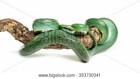 Rhino rat snake on a branch, Rhynchophis boulengeri, isolated