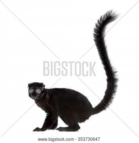 Blue-eyed black lemur, isolated on white