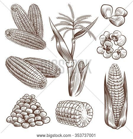 Sketch Corn. Hand Drawn Vintage Drawing Cereal Plants Agriculture Maize, Healthy Corn Cob And Grains