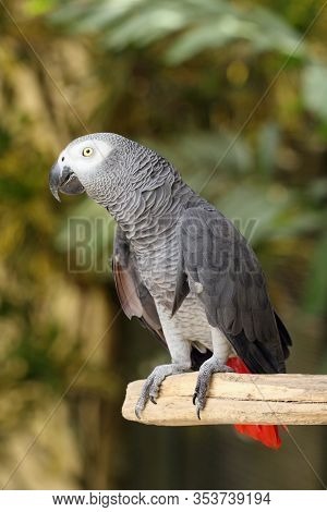 The Grey Parrot (psittacus Erithacus), Also Known As The Congo Grey Parrot Or African Grey Parrot, P