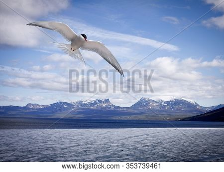 View Of A Lake During Ice Melting, Late Spring. Some Snow In The Mountain. Common Tern, Sterna In Fl