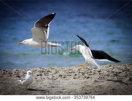 The Great Black-backed Gull Flies Above A Beach. Large Predators By The North Atlantic Coast. The To