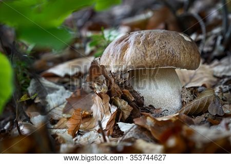 Edible Mushroom Boletus Edulis From Central Europe Forests.