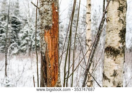 Tree With Deer Rubs In Forest On Winter Day