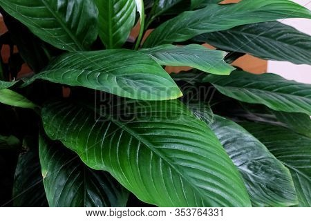 Bush Of Green Leaves Of Spathiphyllum Closeup
