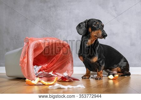 Cute Dachshund Dog, Black And Tan, Looking Up With A Guilty Expression While Sitting Next To A Tippe