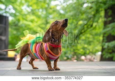 Portrait Dog Of The Dachshund Breed In Costume Rainbow Lgbt Dress,in The Park At A Parade Festival D