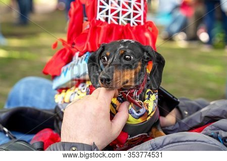 Portrait Dog Of The Dachshund  Breed In Costume As A Traveling Theater In The Park At A Parade Festi