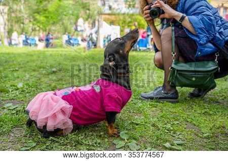 Event With Dogs Called Dachshund Parade. Cute Black And Tan Doxie In Vibrant Pink Doll Dress And Wom