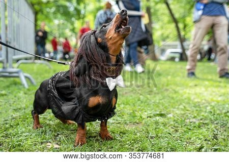 Portrait Dog Of The Dachshund Breed In Costume Waiter In A Wig Barks Loudly,  In The Park At A Parad