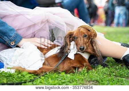 Cute Ginger Long-hairded Doxie In White Dress And Pretty Straw Hat Lies Close To Owner, Woman In Tra