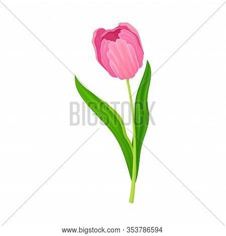 Semi-closed Purple Tulip Flower Bud On Green Erect Stem With Blade Vector Illustration