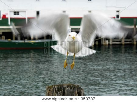 Seagull Taking Off
