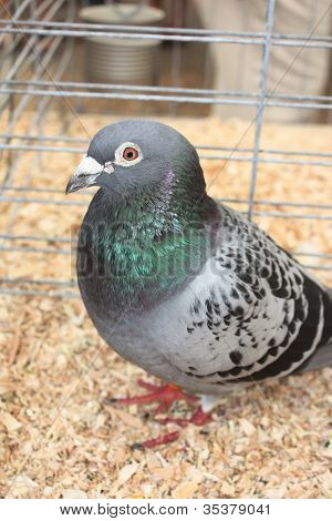 Caged Pigeon Profile