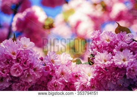 Cherry Blossom. Beautiful Floral Spring Abstract Background Of Nature. Sacura Cherry-tree. Japanese