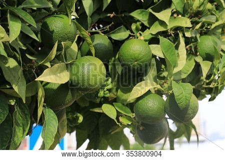 Green Limes Hanging On A Tree In The Garden.