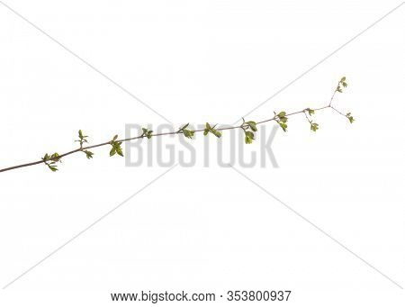 Blossoming branch with flowers. Single spring tree branch with flowers and buds, isolated on white background. Stick tree branch from nature for design.