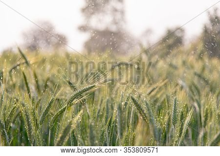 Green Ears Of Barley With Water Drops After Spraying Water System Close Up At Agricultural Field. Gr