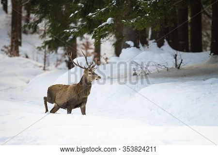 Solitary Red Deer With Beautiful Antlers Walking In The Winter Wonderland