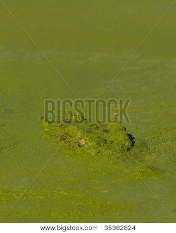 Crocodile Peek