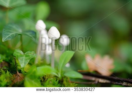 Young bolbitius lacteus mushroom growing in the wet moss of a temperate forest.