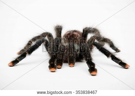 A Pink Toe Tarantula Isolated On A White Background