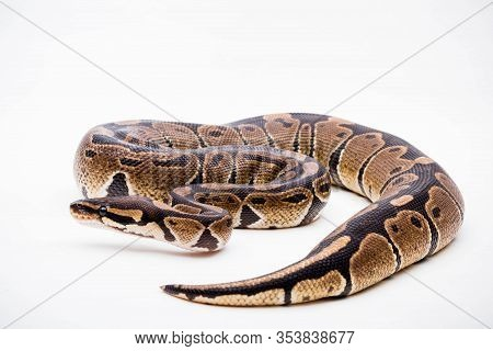 A Royal/ball Python (python Regius) Isolated On A White Background