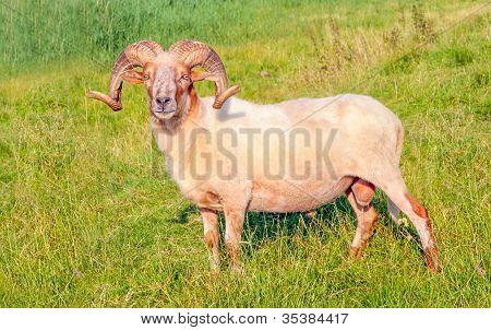 Male Mouflon Sheep Posing In A Dutch Meadow