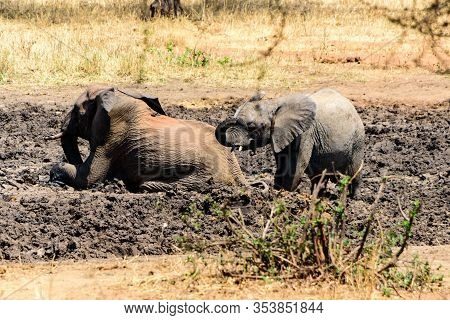 Adult And Baby African Elephant, Loxodonta Africana, Wallowing In A Mud Hole