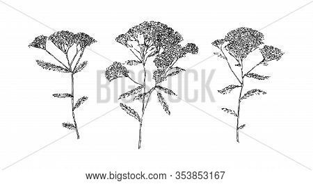 Set Of Hand Drawn Yarrow Flowers. Outline Floral Sketch Ink Drawn. Black Isolated Botanical Vector I