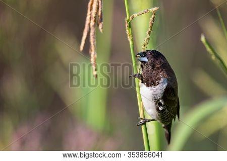 Bronze Mannikin Bird Sitting In Stems Of Grass To Eat Some Fresh Seeds