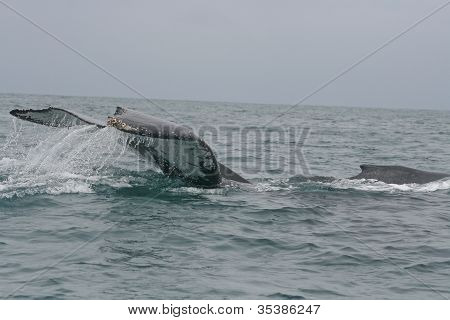 A large humpback whale slaps its tail on the ocean surface off of the coast of Tonsupa, Ecuador poster