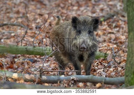Alert wild boar, sus scrofa, standing fierceful on a forest in autumntime. View of dangerous aggressive mammal in wilderness. Concept of animal danger in nature.