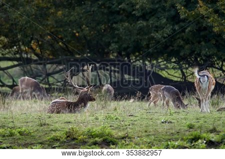 Fallow deer (Cervus dama / Dama dama) in a green meadow in autumn. Large herd at sunset.