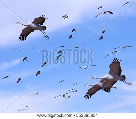 A Flock Of Sandhill Cranes Soars In A Pale Blue Sky