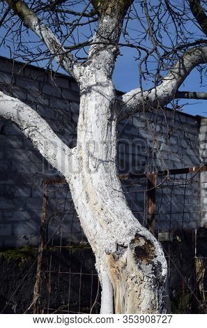 Spring seasonal work. Painting, whitewashing of tree trunks with lime to protect against pests. Crop protection. Spring whitewashing of trees. Typical Spring Country Landscape