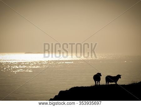 Sheep On A Cliff Next To The Sea. Silhouette Of Animals And Grass. Nightfall By The Seaside.