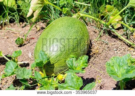 Big Green Melon Is Growing And Ripening In The Sunlight In The Garden