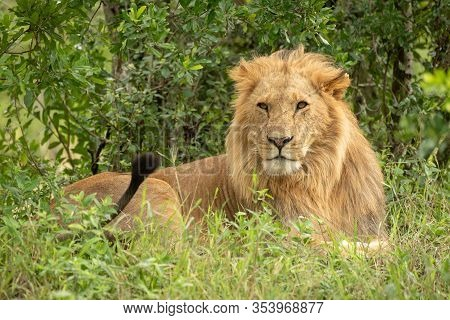 Male Lion Lies In Bushes Flicking Tail