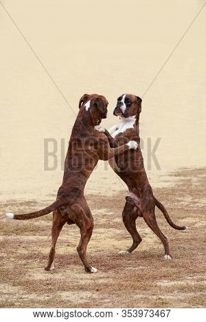 Two Dogs Of Breed Boxer Dancing Together