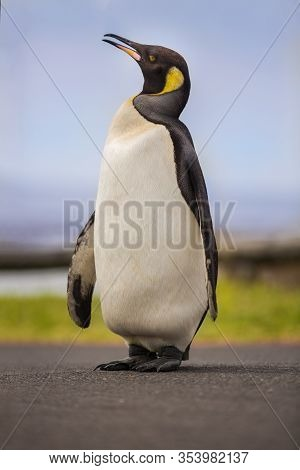 Beautiful King Penguin In Cape Town, South Africa