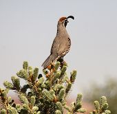 A Gamble's Quail sitting on the top branch of a pine tree. poster