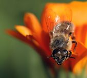 Honey bee standing on orange flower looking down poster